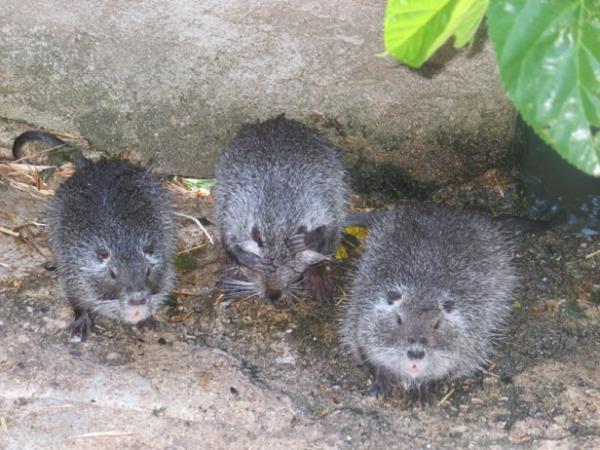 Thueyts, élevage de Castors du Chili