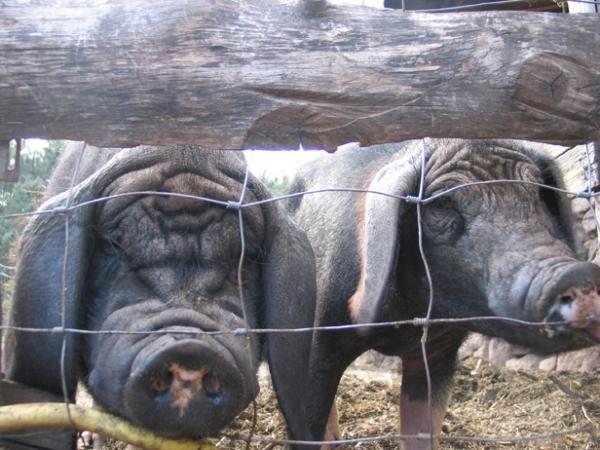 Cochons du Musée vivant du cochon à Chambonas près de Les Vans