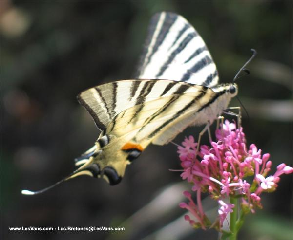 Papillon du plateau des Gras de Naves