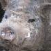 Cochon nain du Musée vivant du cochon près de Les Vans