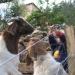 Chèvres du Musée vivant du cochon près de Les Vans