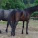 Cheveaux du ranch du Foussac