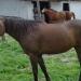 Cheval du ranch du Foussac près de Gravières